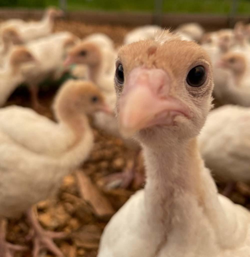 Turkeys, turkeys, and more turkeys!