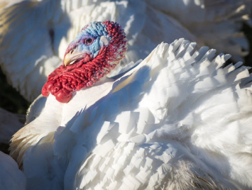 2019 Thanksgiving Turkey Deposit Pickup only - not for home delivery