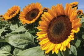 Robin Hollow: Sunflower bunch