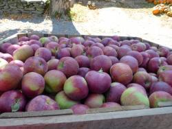 Barden Cortland Apples