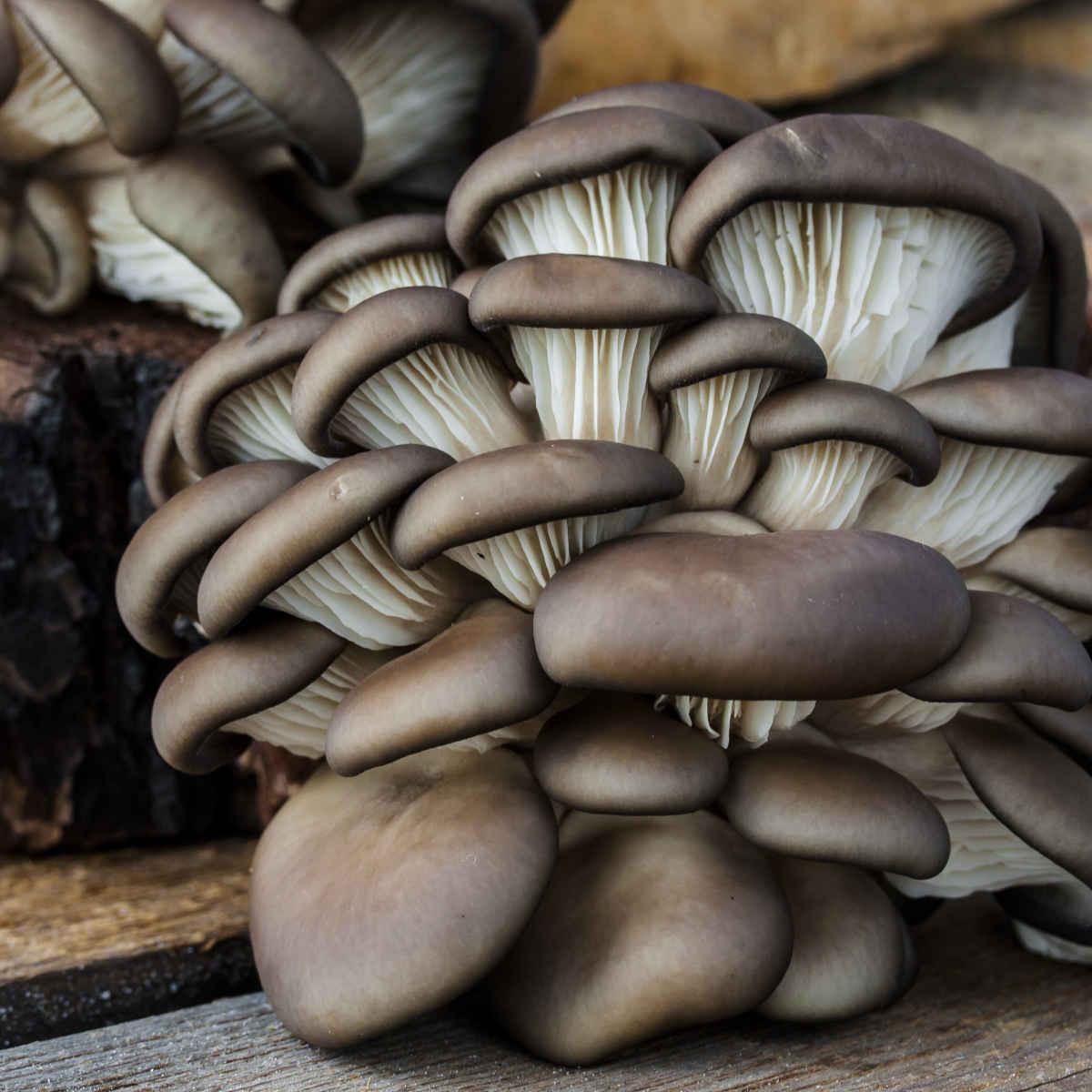 Organic Mushrooms, Oyster