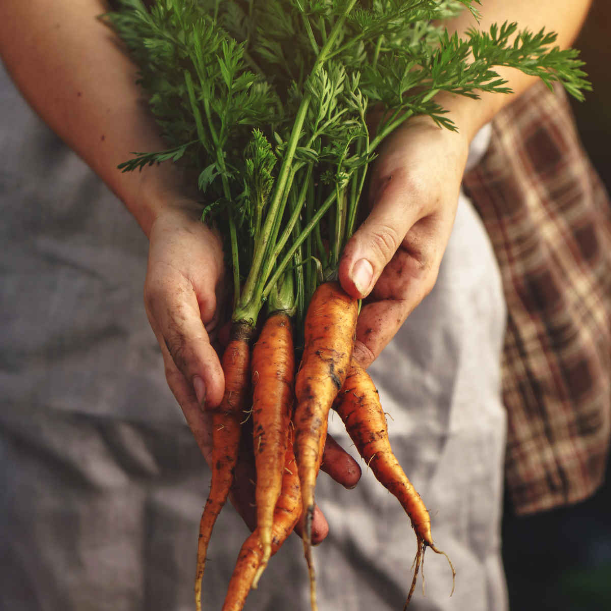 Bunched Farm Carrots
