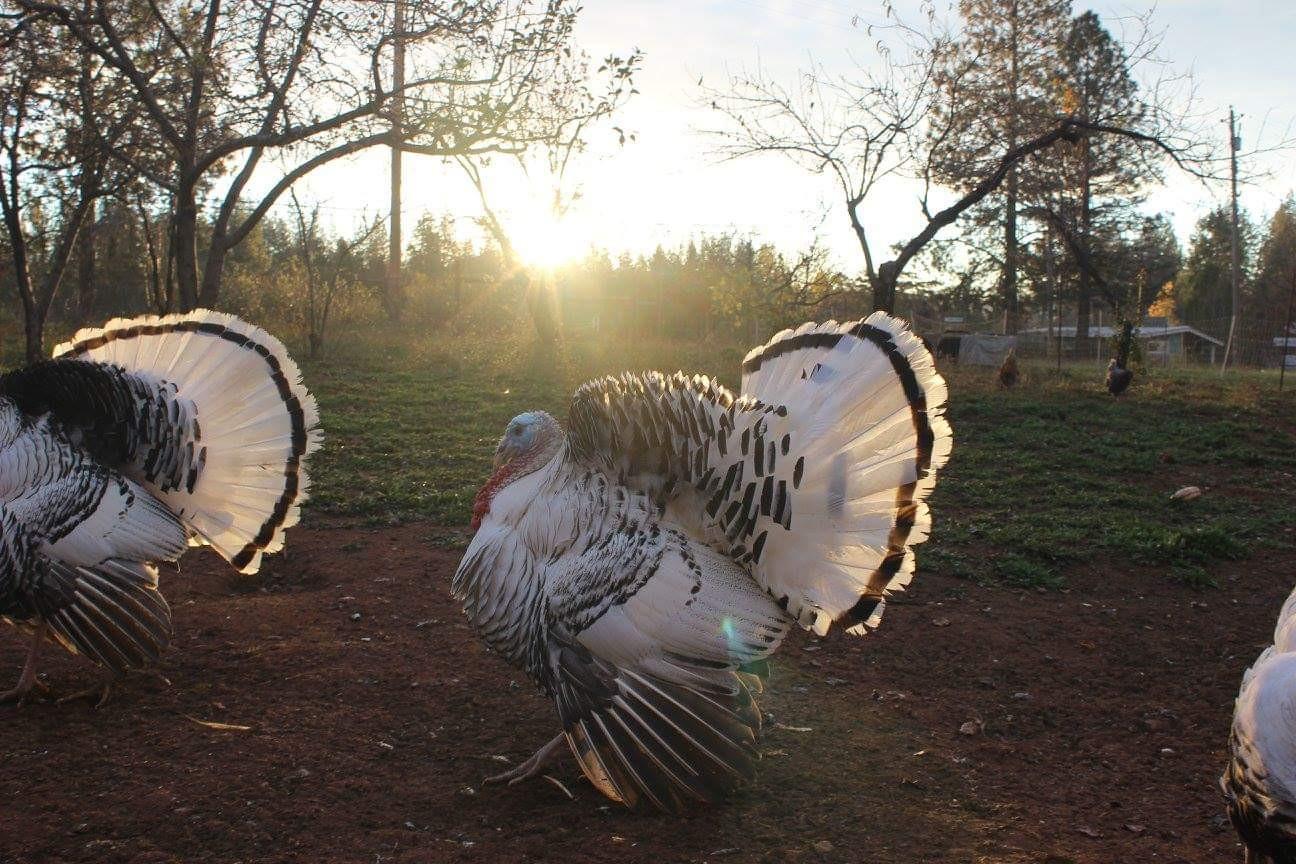 Thanksgiving Turkey Deposit 2020