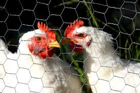 China, Chicken and the Coronavirus