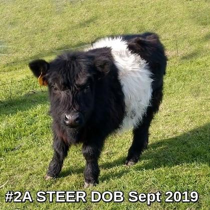 Steer #2A, born 9/2019