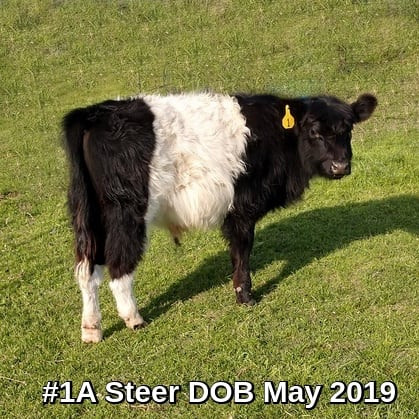 Steer #1A, born 5/2019