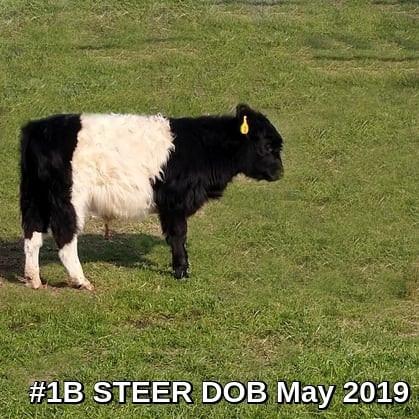 Steer #1B, born 5/2019