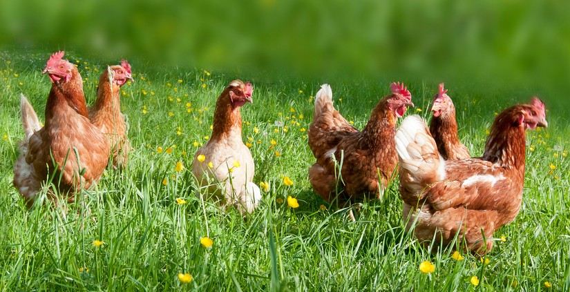 Why Your Family Needs to Eat Pastured Chicken