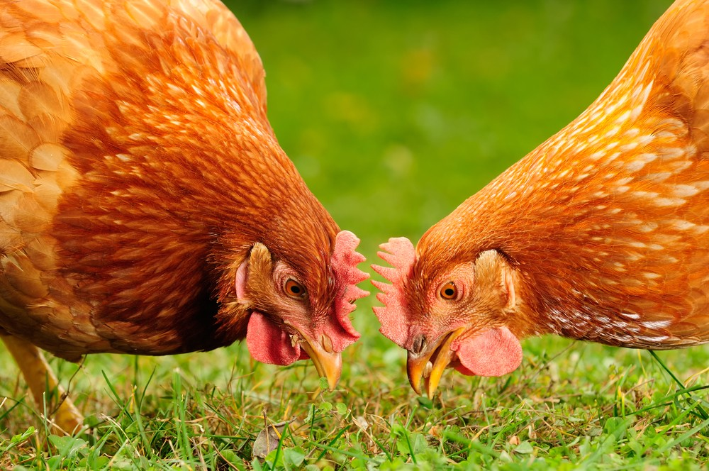 Why We Process Our Broilers Onsite