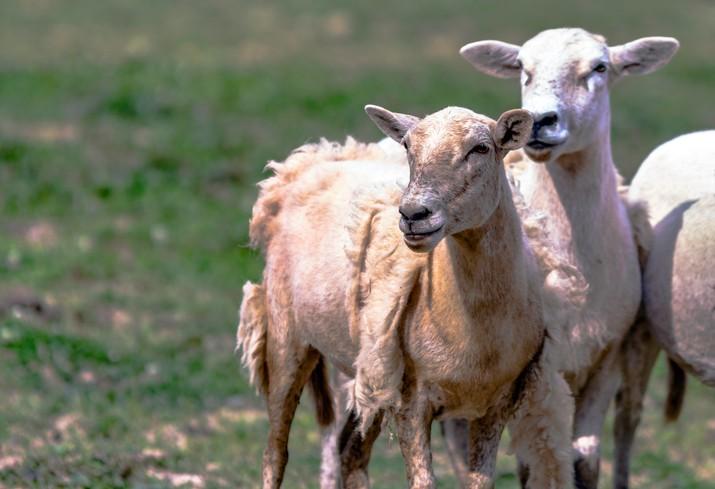The Story of Katahdin Hair Sheep