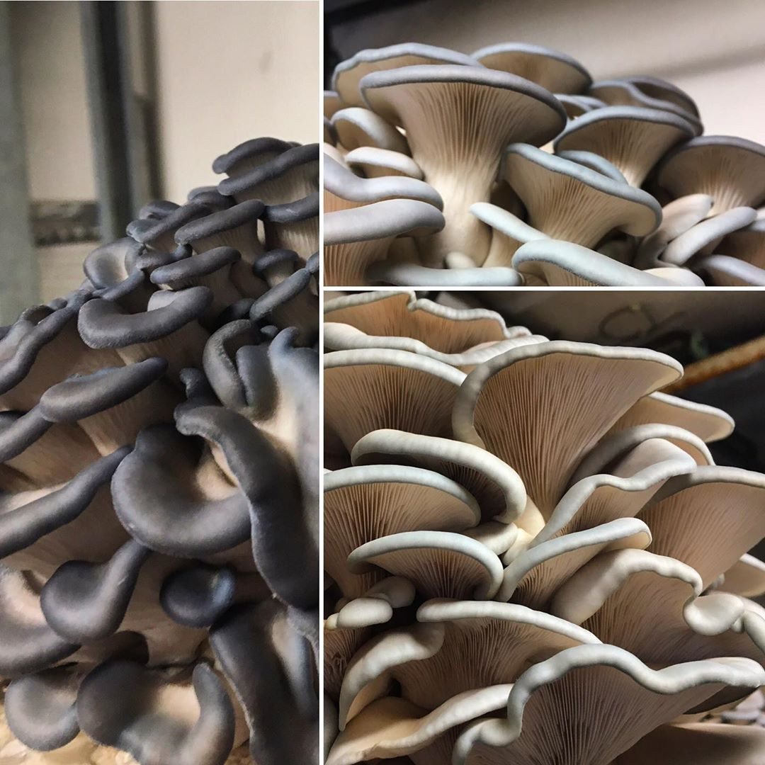 Blue Oyster Mushrooms, Fresh