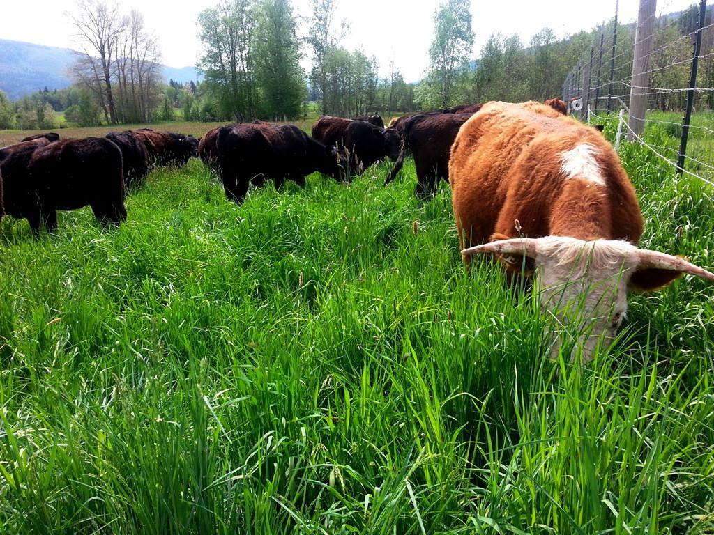Beef-grazing.jpg
