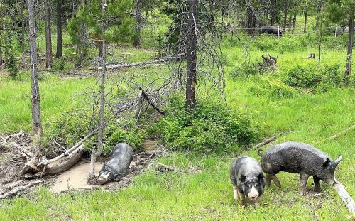 Pigs-Mud-Hole-small.jpg