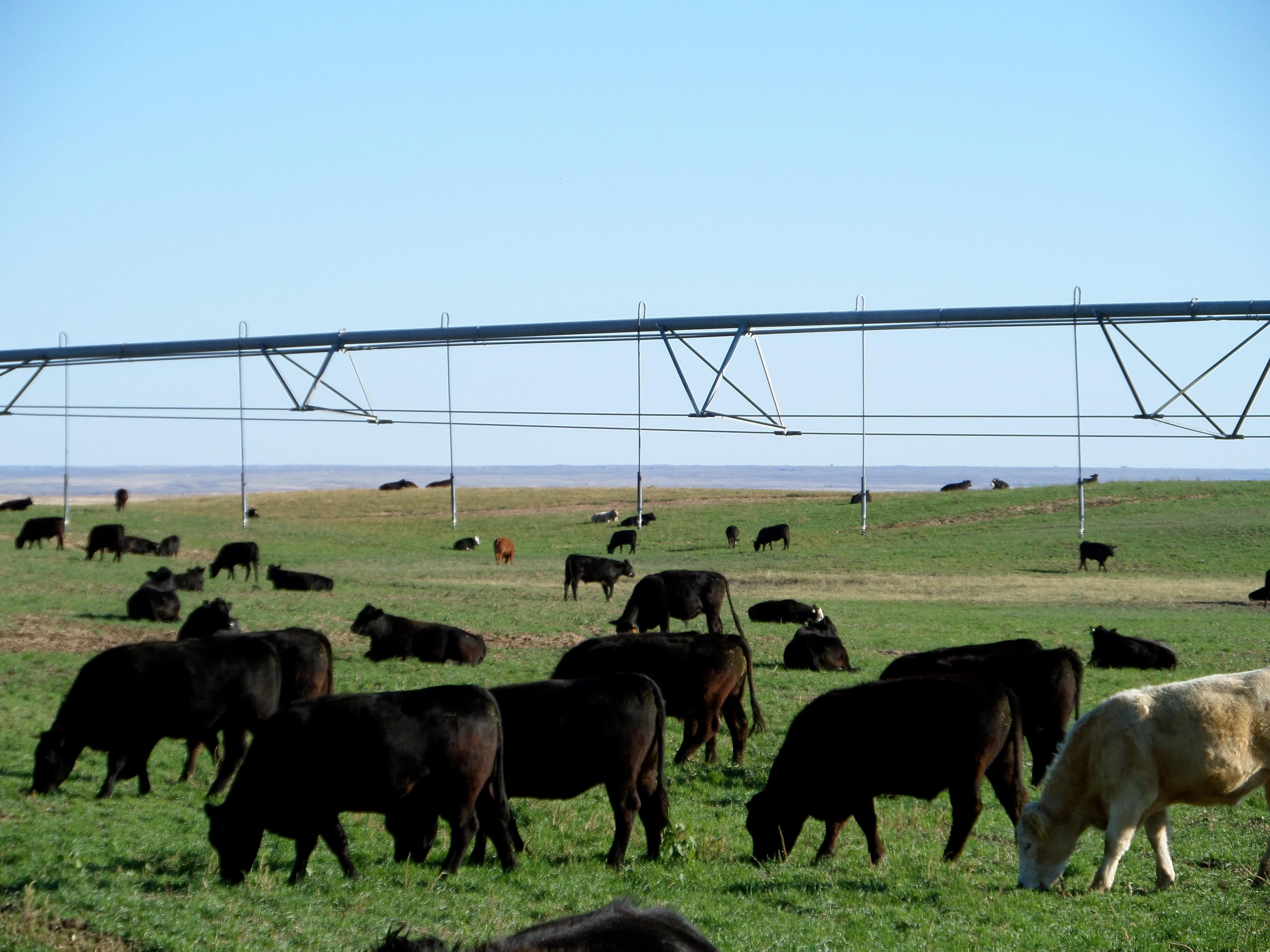 Redger-Farms-Cattle.jpg