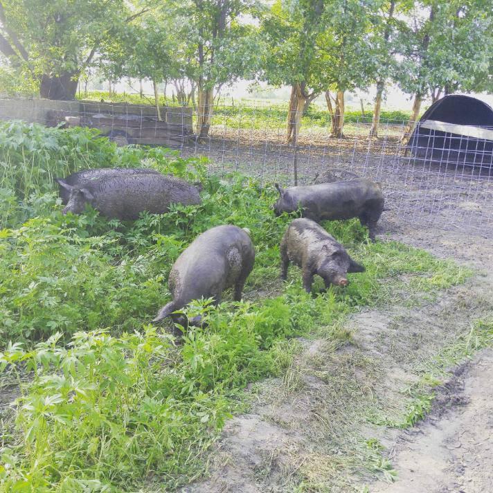 hogs1.jpg