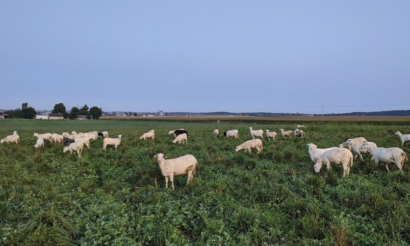 Explore how we raise our grass-fed sheep