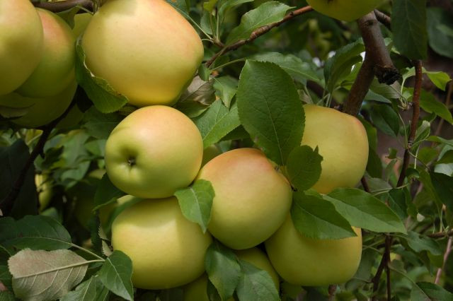 Apples - Ozark Gold 5 lb  bag