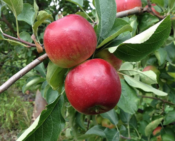 Apples - Red Free 5 lb. bag