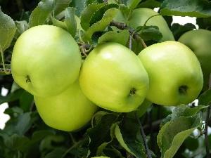 Apples - Ginger Gold 5 lb. bag