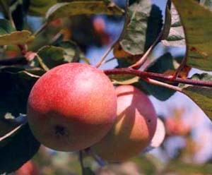 Apples - Jonamac 5 lb. bag