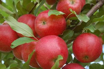Apples - Gala 5 lb. bag