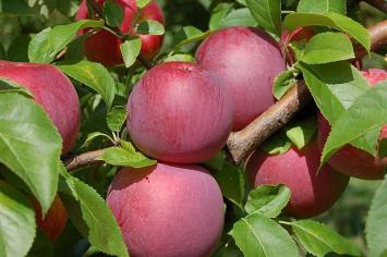 Apples - McIntosh 5 lb. bag