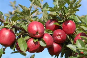 Apples - Red Delicious 5 lb. Bag