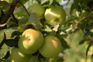 Apples - Goldrush 5 lb. Bag