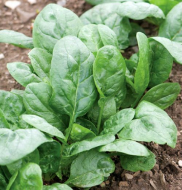 Spinach (baby)