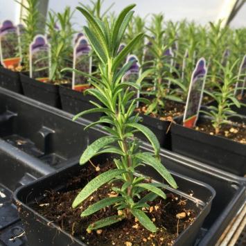 Rosemary - Plant