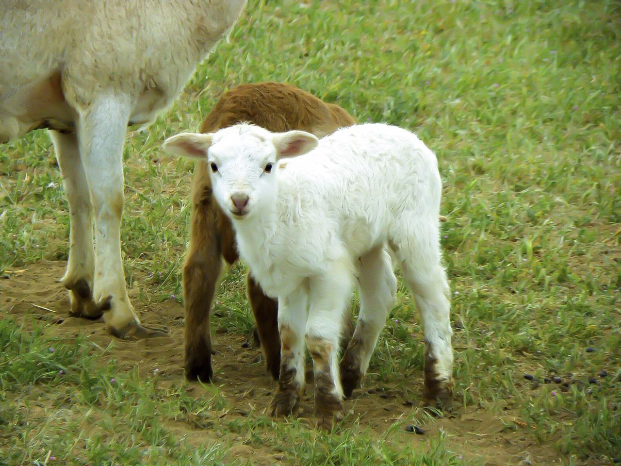 Pasture-Raised Lamb