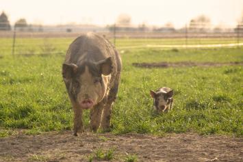 1/2 Heritage Pig