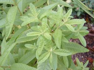 Plants, Herbs, Lemon Verbena