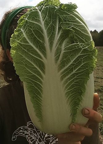 Napa Cabbage - by the lb