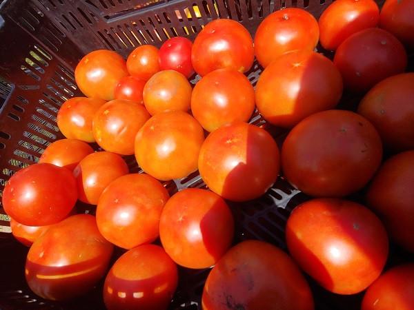 Tomatoes, Red, BULK, 20 lb box