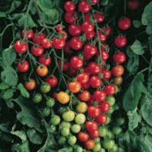 Plants, Veggie, Tomato, Sweet 100s Cherry