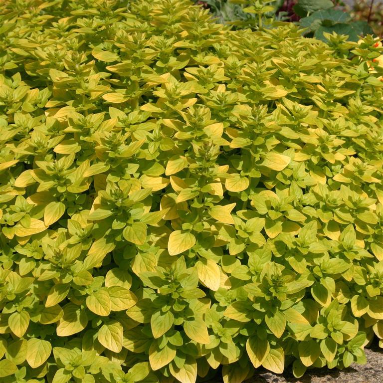 Plants, Herbs, Marjoram 'Golden'
