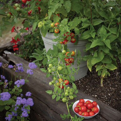 Plants, Veggies, Tomato, 'Tidy Treats' Cherry