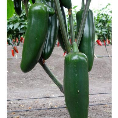 Plants, Veggies, Hot Pepper, Jalapeno