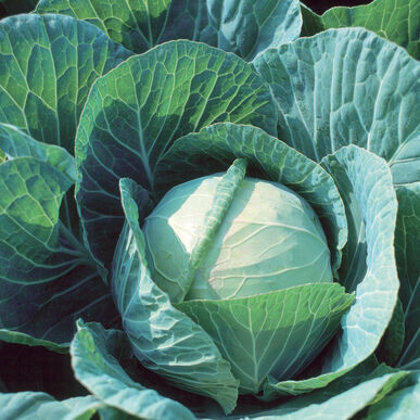 Plants, Veggies, Green Cabbage, 4-pack