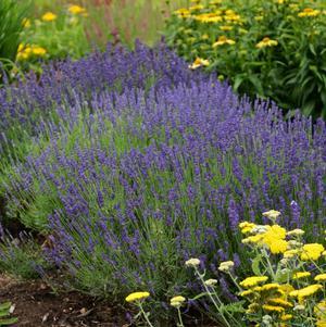 Plants, Herbs, Lavender 'Hidcote'