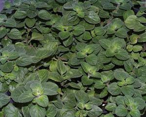 Plants, Herbs, Oregano 'Hot and Spicy'