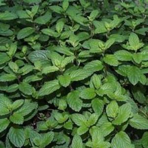 Plants, Herbs, Mint, Spearmint 'Julep'