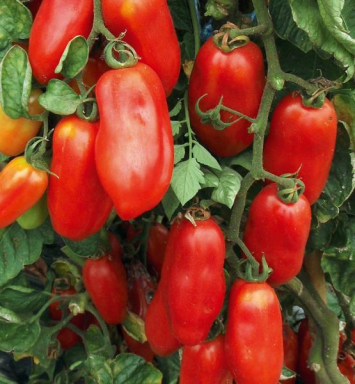 Plants, veggies, Tomato, 'San Marzano'