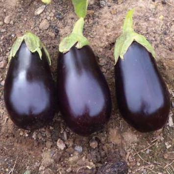 Plants, Veggies, 'Nadia' Eggplant