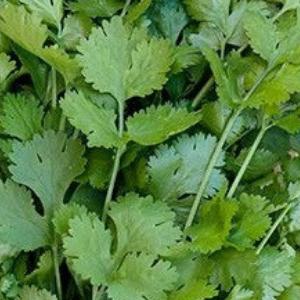 Plants, Herbs, Cilantro