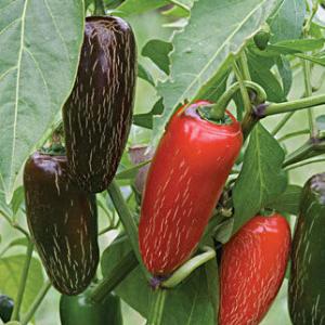 Plants, Veggies, Hot Pepper, Biker Billy Jalapeno