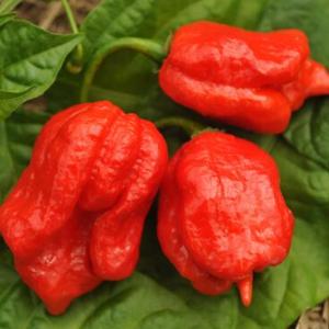 Plants, Veggies, Hot Pepper, Trinidad Scorpion