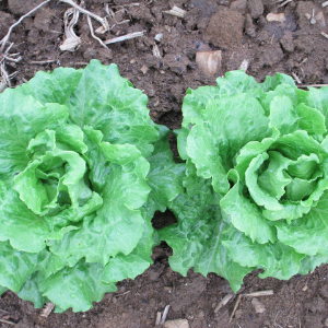 Head Lettuce - Green Crisp