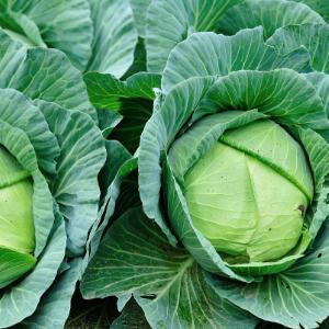 Cabbage, Green, Mini, Wholesale